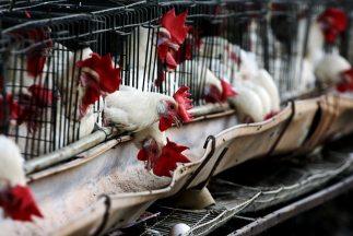 Más de 400 mil aves tendrán que ser sacrificadas por el brote de gripe a...