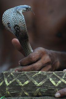 Un agricultor nepalés, al que una serpiente venenosa había mordido previ...