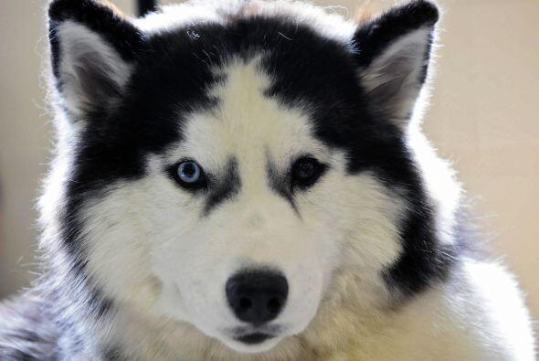 Aunque es un perro independiente, prefiere la compañía de otros para jug...