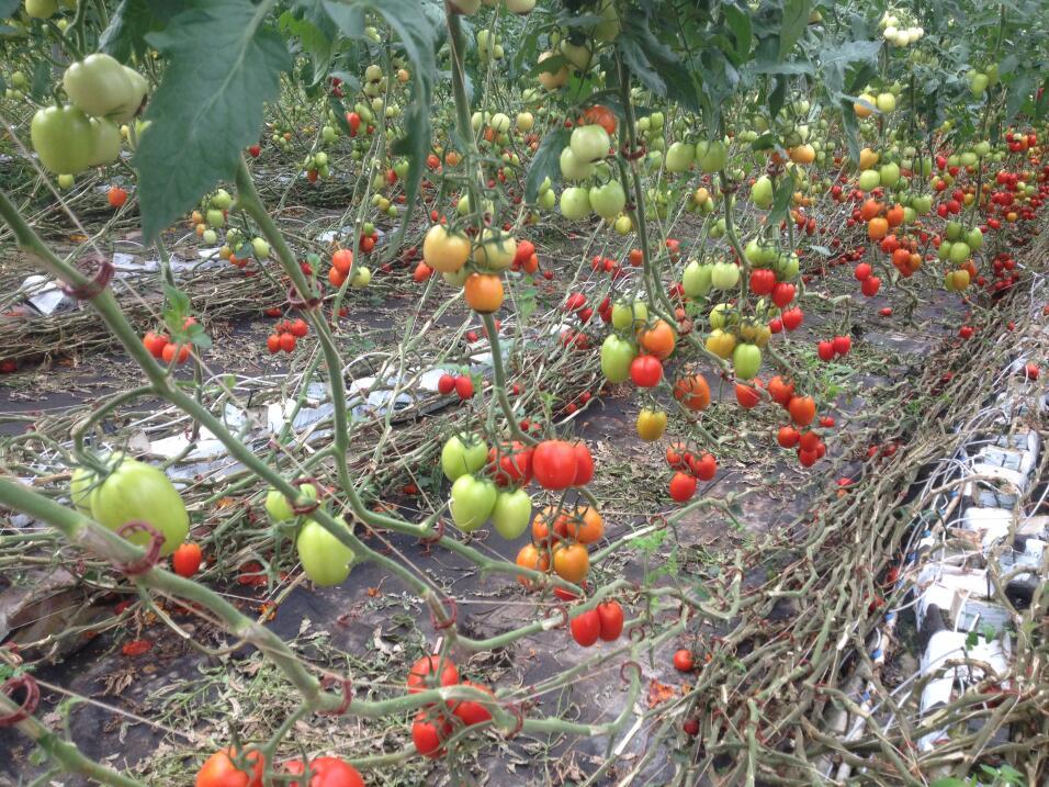 Sistema hidropónico para cultivar tomates en el desierto