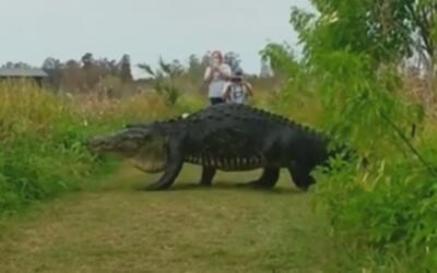 Peatones se encontraron con un gigantesco caimán en el parque natural de...
