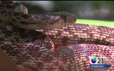 Conciencia de la serpiente de cascabel