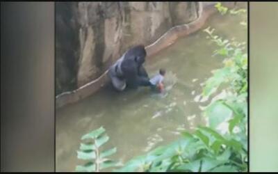Un niño cae al foso de un gorila en zoológico de Estados Unidos