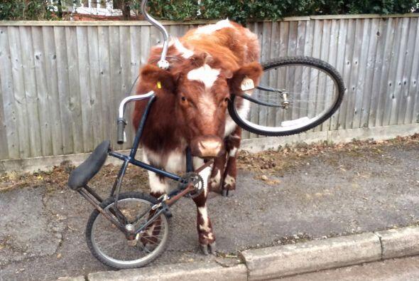 Esta linda vaca espera tranquila a que alguien le ayude, después...