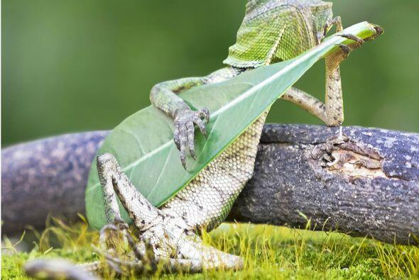 Parece que esta lagartija dragón de Indonesia es fanática de tocar su ho...