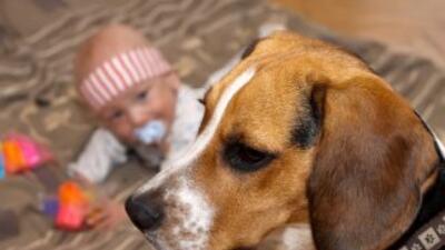 Charlie, un perro de raza beagle, se disculpa con bebé tras hacerla llor...