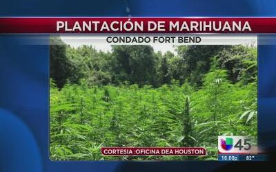 Aumenta el cultivo de marihuana en Houston
