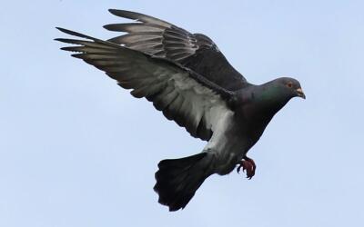 No es la primera vez que se usan palomas para traficar con drogas.