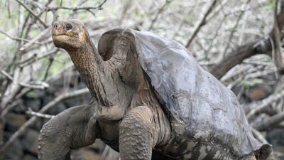 """Muere en Galápagos el """"Solitario Jorge"""", una tortuga gigante última de s..."""