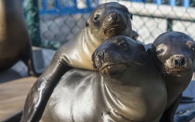 Leones marinos serán protegidos en costas de Perú gracias a la creación...