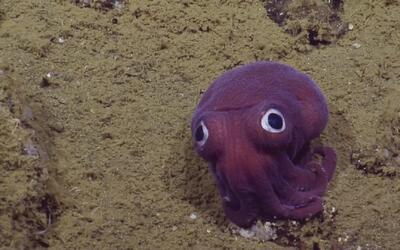 Conoce al calamar más tierno del fondo del mar