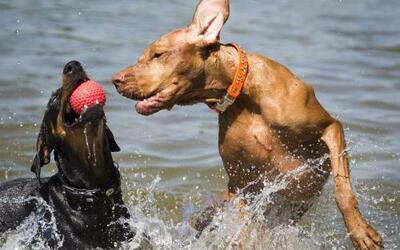 Dos perros juegan con una pelota en el lago Gruenewald en el oeste de Be...