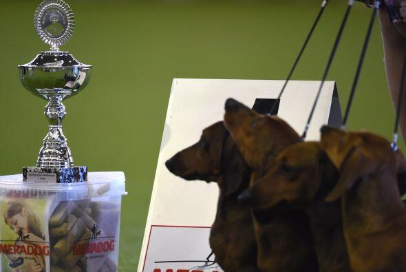 Estos simpáticos salchicha lograron ser acreedores de un trofeo.
