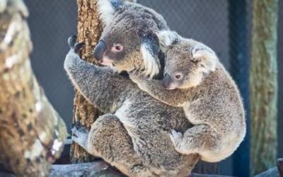 Los koalas, marsupiales de Australia, tienen una cría a la vez. Cuando n...