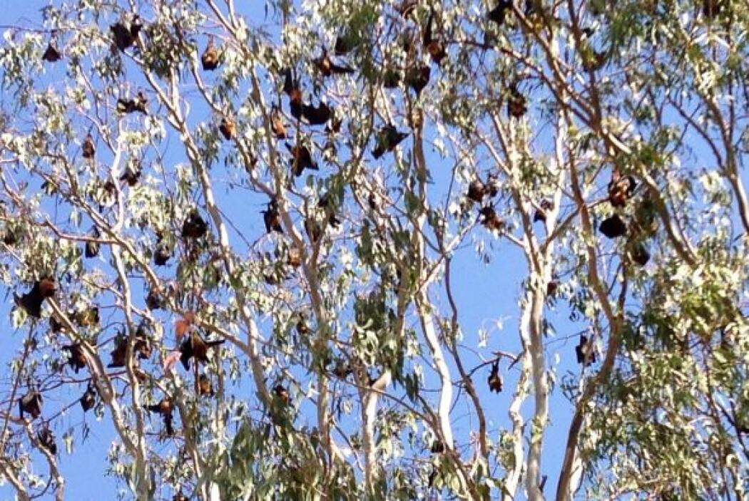 En Udaipur, es común ver murciélagos colgados de los árboles a plena luz...