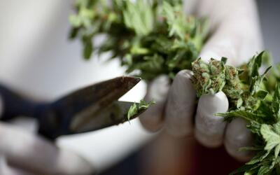 Marihuana, entre el uso medicinal y el riesgo del consumo recreativo