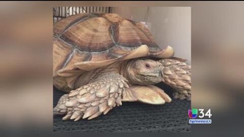 Tortuga escapa del incendio Sand en Santa Clarita