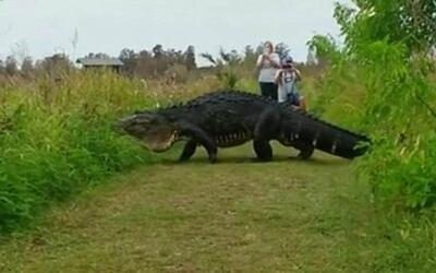 Crece el asombro por las imágenes del gigantesco caimán fotografiado en...