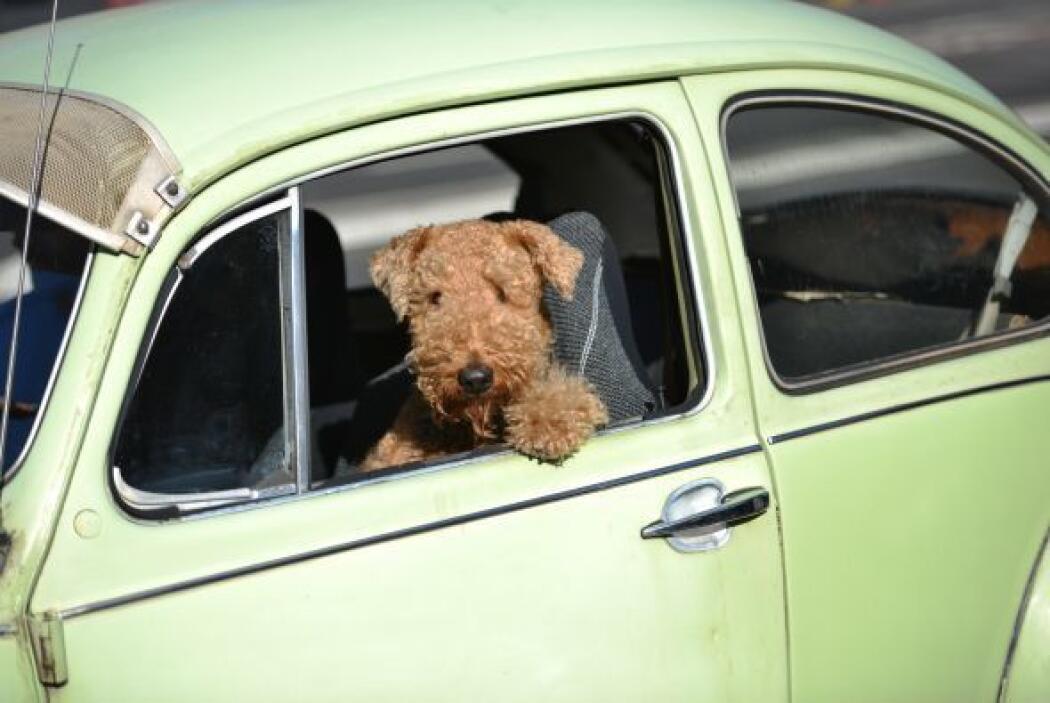 Un perro se asoma en un Volkswagen Beetle en Sydney.