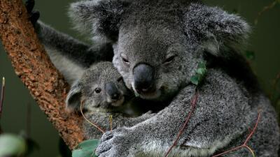 ¿Sacrificar koalas para evitar su extinción? koalas.jpg
