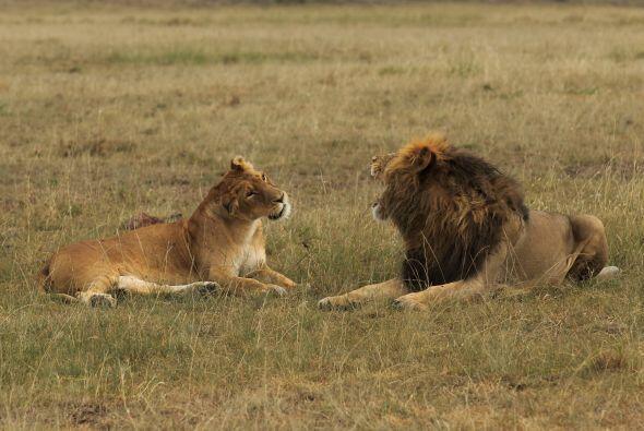 La pelea entre el león y la leona demuestra que los seres humanos...