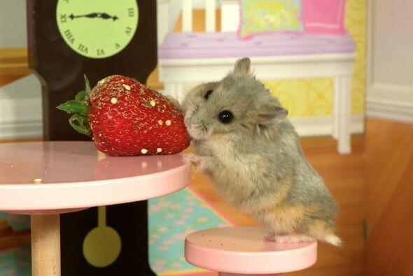 Sus videos han dado la vuelta al mundo, pues el simpático roedor...