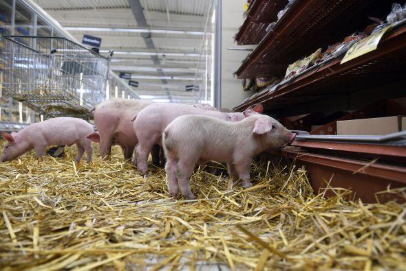 Aunque cueste trabajo creerlo, ¡los cerdos en realidad son unas criatura...