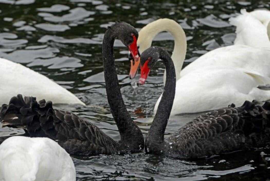 Así es como se divierten un par de raros cisnes negros.