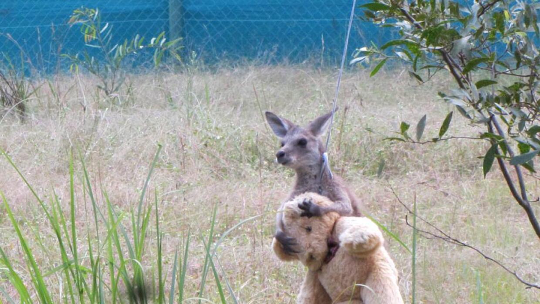 El canguro y su peluche han robado corazones a nivel mundial.