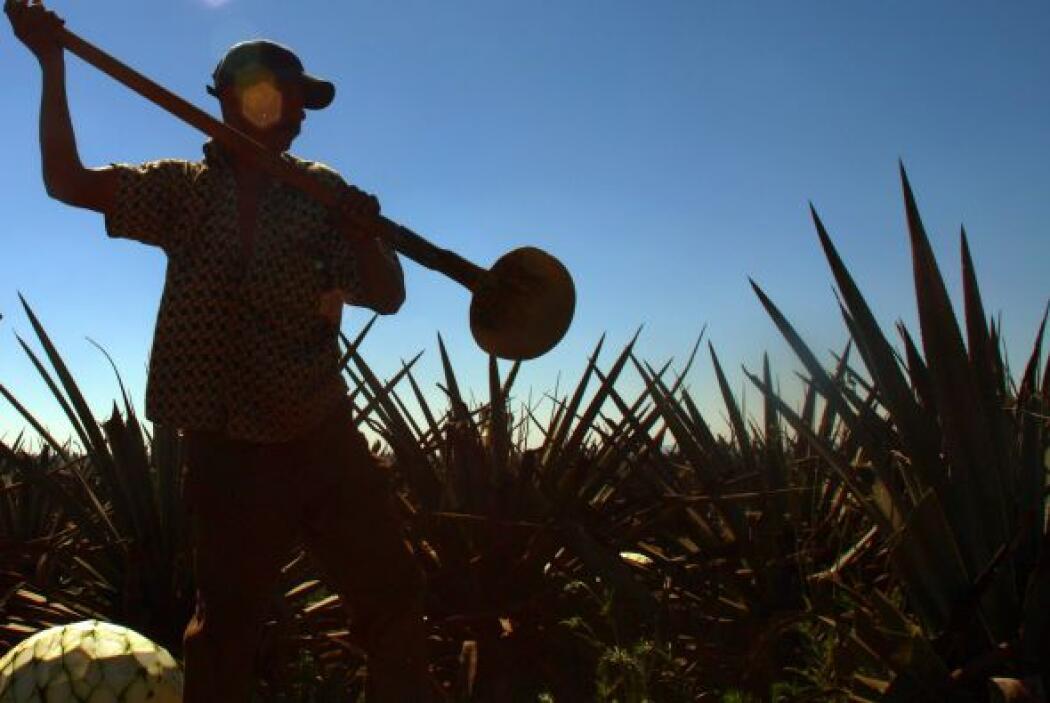 EL TEQUILA.  Un invento 100% mexicano y súper hispano. Cuenta la leyenda...