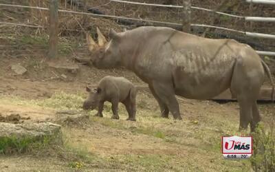 Debuta bebé rinoceronte en zoológico de Pittsburgh