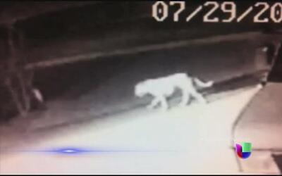 Un misterioso animal anda suelto por las calles de California