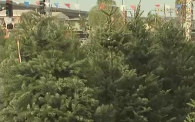 Se incrementa el precio de los árboles navideños naturales por escasez e...