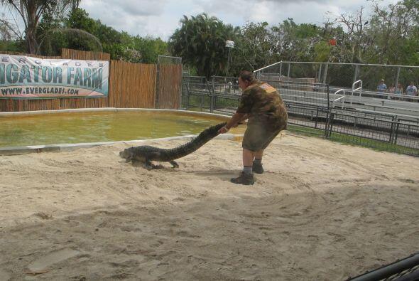 Con un poco de temor, Raúl estuvo moviendo a este enorme caimán.