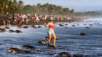 Una turista entre las tortugas lora.