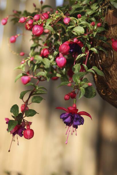 3) Fucsias. Se venden en gran medida como plantas colgantes y necesitan...
