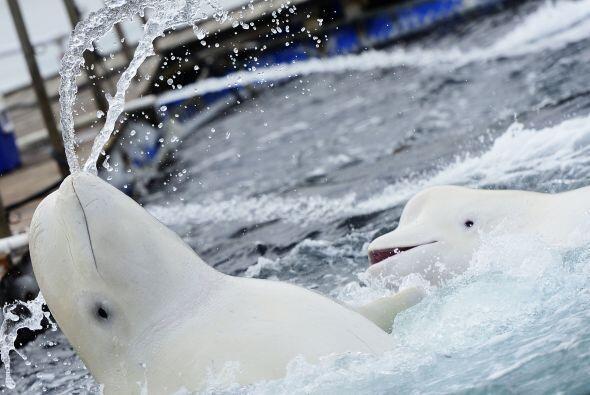 Es común que a las belungas se les llame 'ballenas blancas', aunq...