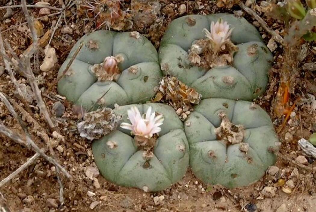 El peyote es un pequeño cactus sin espinas que crece en México y el suro...