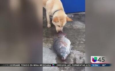 Perro intenta salvarle la vida a pescados
