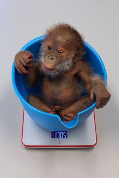 Ahora el bebé se encuentra al cuidado del personal del zoológico.