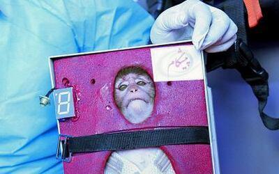 Un mono de cresta gris atado con tirantes a un receptáculo que parecía u...