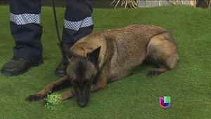 ¿Cómo se entrena un perro de rescate?