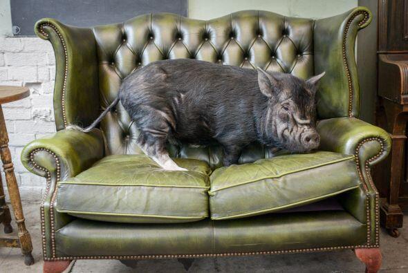 Ademas de irrumpir en pubs, a la puerquita le encanta dormir en su tiemp...