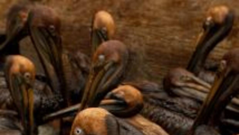 Pelícanos cubiertos en crudo en el Golfo de México, tras un vertido de c...