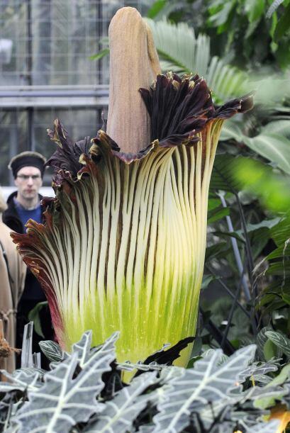 Los expertos declaran que esta planta herbácea-tuberculosa, puede...