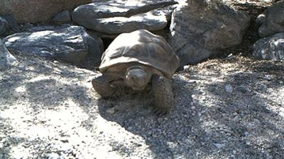 La tortuga Mojave Maxine predijo la llegada de la primavera