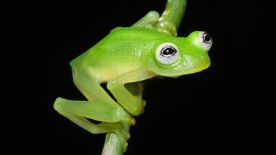 Descubren una nueva especie de rana que se parece a la rana René
