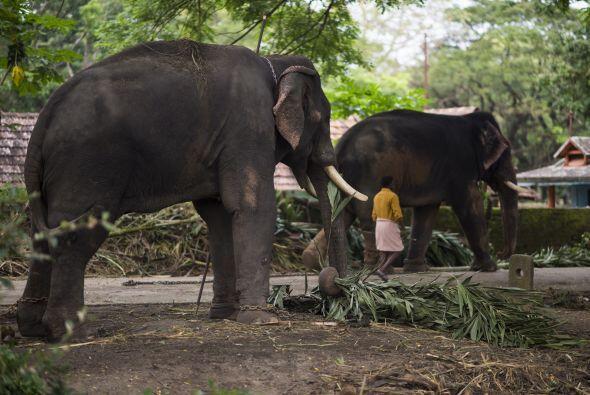 El campamento Punnathur Kotta recibe miles de turistas al año que conviv...