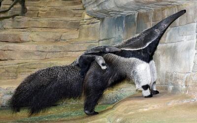 Nace cría de oso hormiguero en el zoológico Brookfield