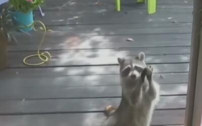 Reportan la aparición de un segundo mapache con rabia en Kendall